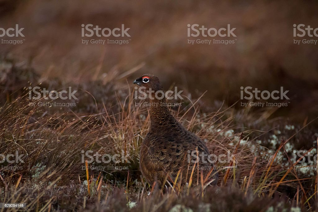 Grouse in moorland stock photo