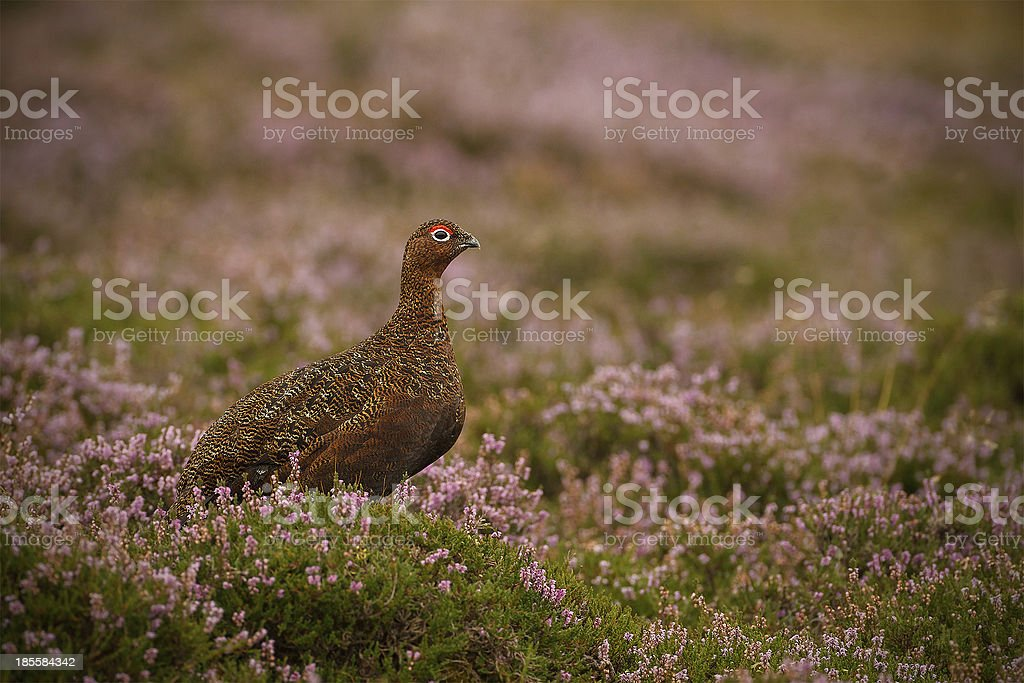 Grouse on Yorkshire Moorland stock photo