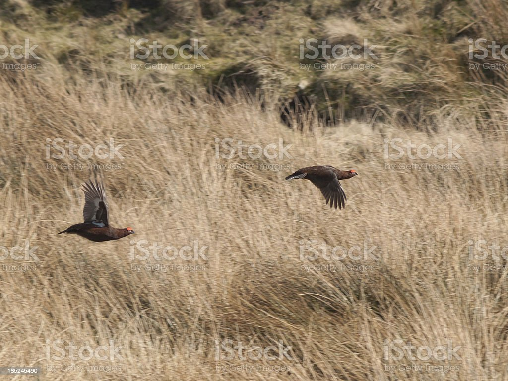 Grouse stock photo