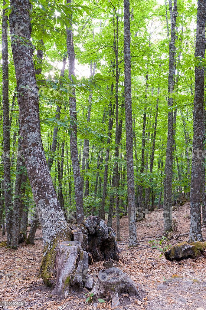 Grove beginning autumn chestnut with green leaves stock photo
