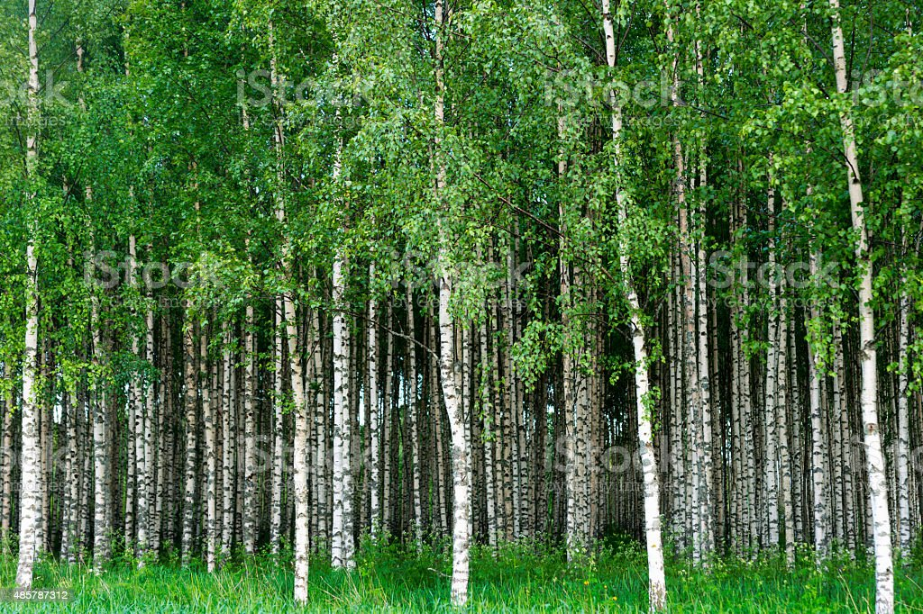 Grove of birch trees stock photo