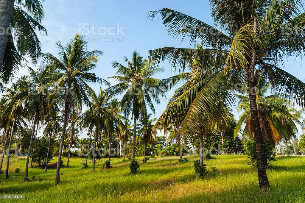 grove of coconut trees on a sunny day stock photo
