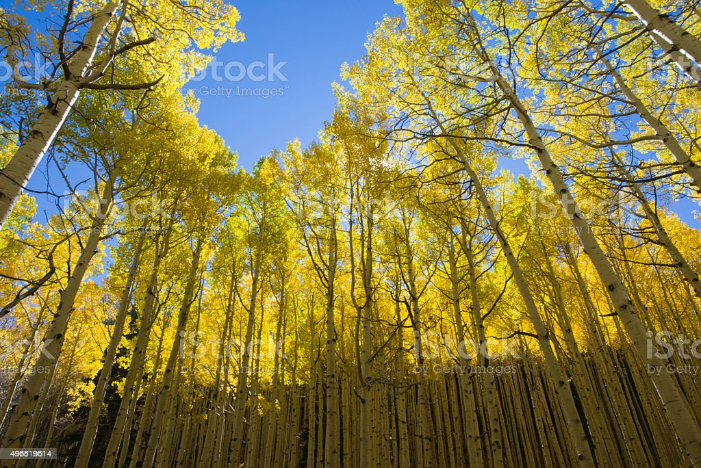 Grove of Golden Aspens in Fall stock photo