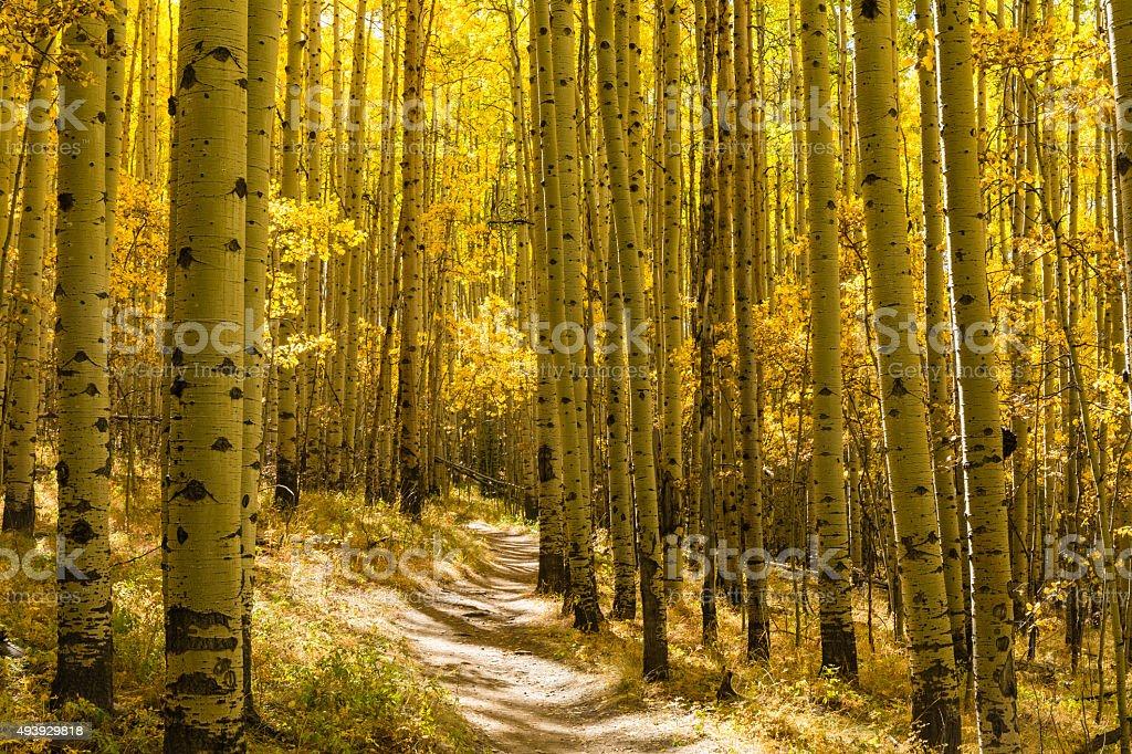 Grove of Golden Aspens stock photo