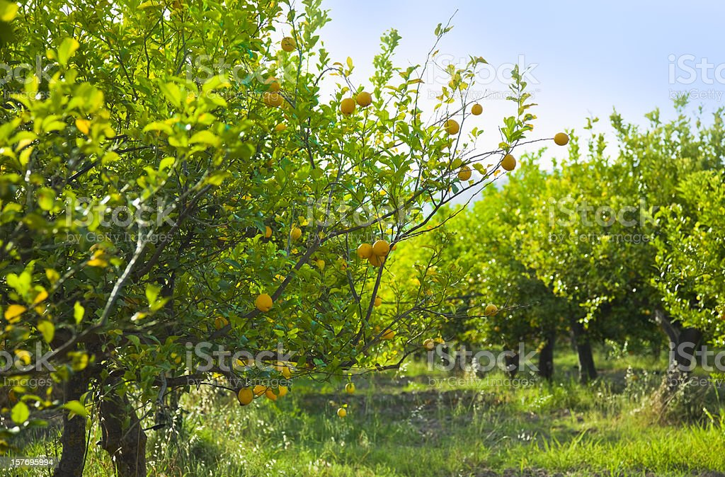 Grove of lemon trees ready for harvest stock photo