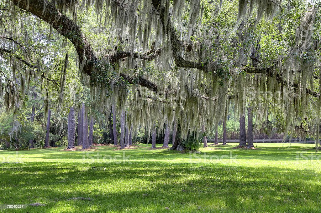 Grove of Live Oaks royalty-free stock photo