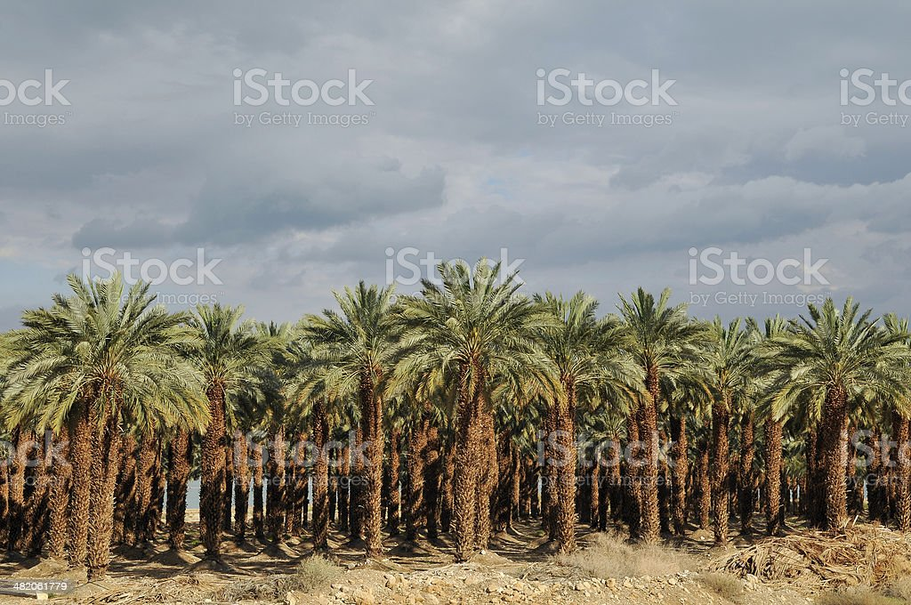 Grove of Palm Trees in the desert , Israel stock photo