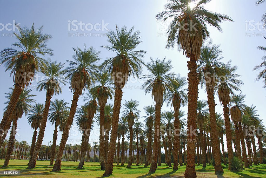 Grove of Palm Trees stock photo