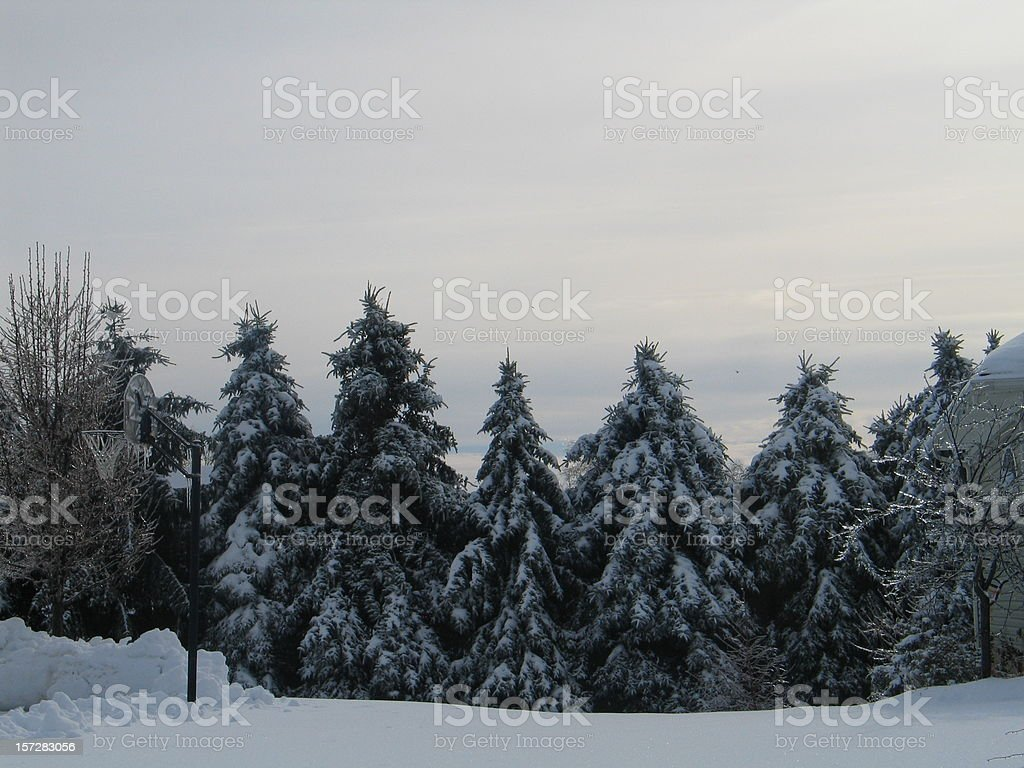 Grove Of Snow Covered Pines and Trees royalty-free stock photo