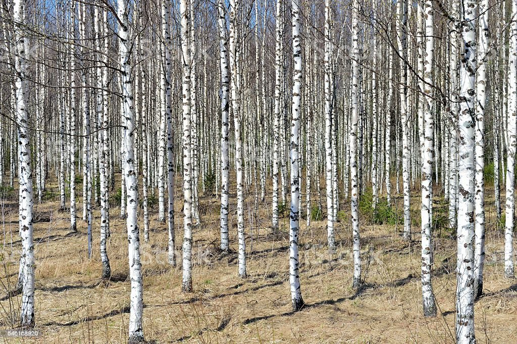 Grove of the White Birch trees in bright sunshine in spring. stock photo