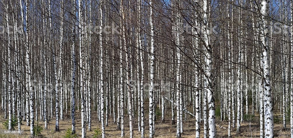 Grove of the White Birch  trees  in spring stock photo