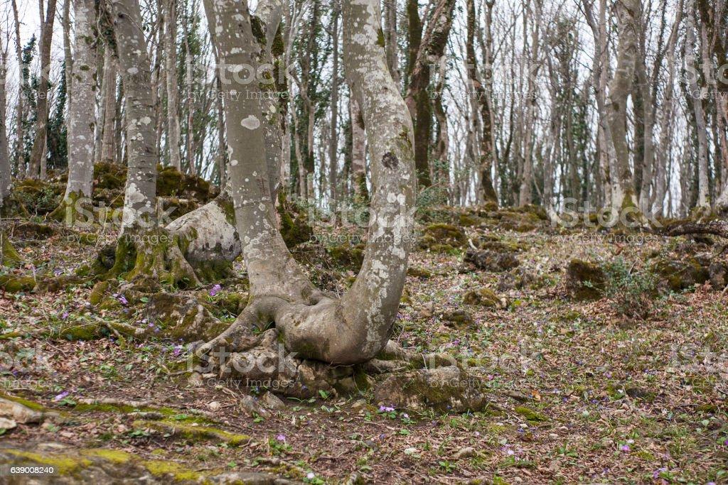 grove of trees Sataplia Nature Reserve in winter stock photo