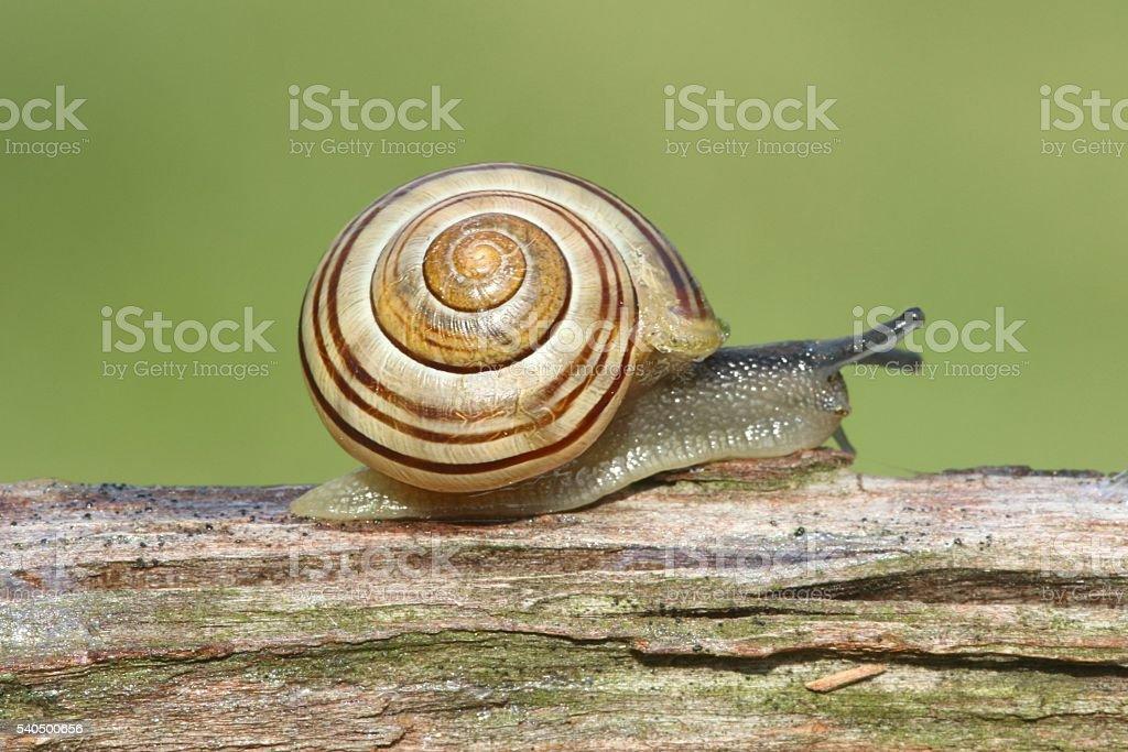 Grove or Brown-lipped Snail (Cepaea nemoralis) stock photo