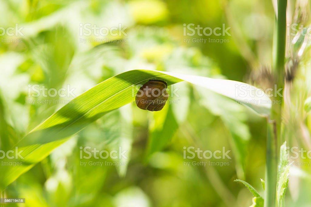 Grove Snail (Cepaea nemoralis) adult, congregated on leaf, Leiden. stock photo