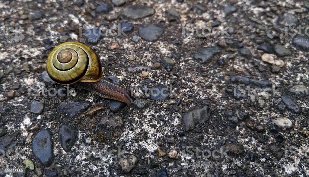Grove Snail or Brown-lipped Snail stock photo