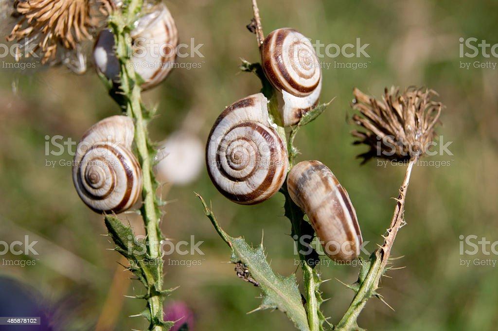 Grove snail (Cepaea nemoralis) stock photo