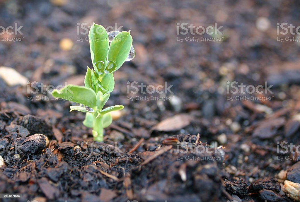 Grow - new sprout emerging from the ground royalty-free stock photo