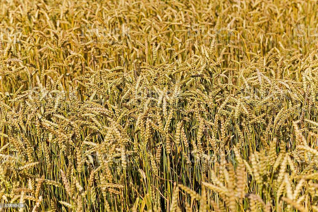 grow ripe cereals stock photo