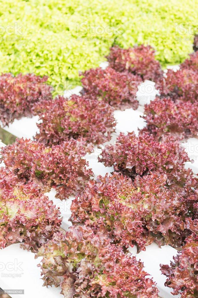 Grow vegetable in organic farm stock photo