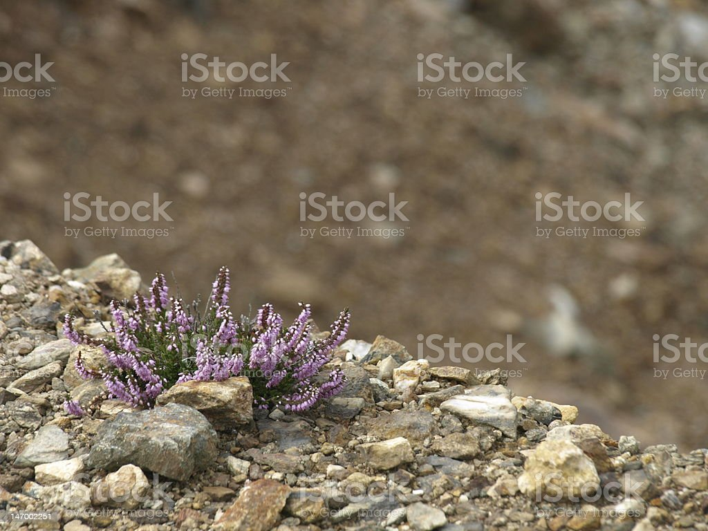 Growing against the odds royalty-free stock photo