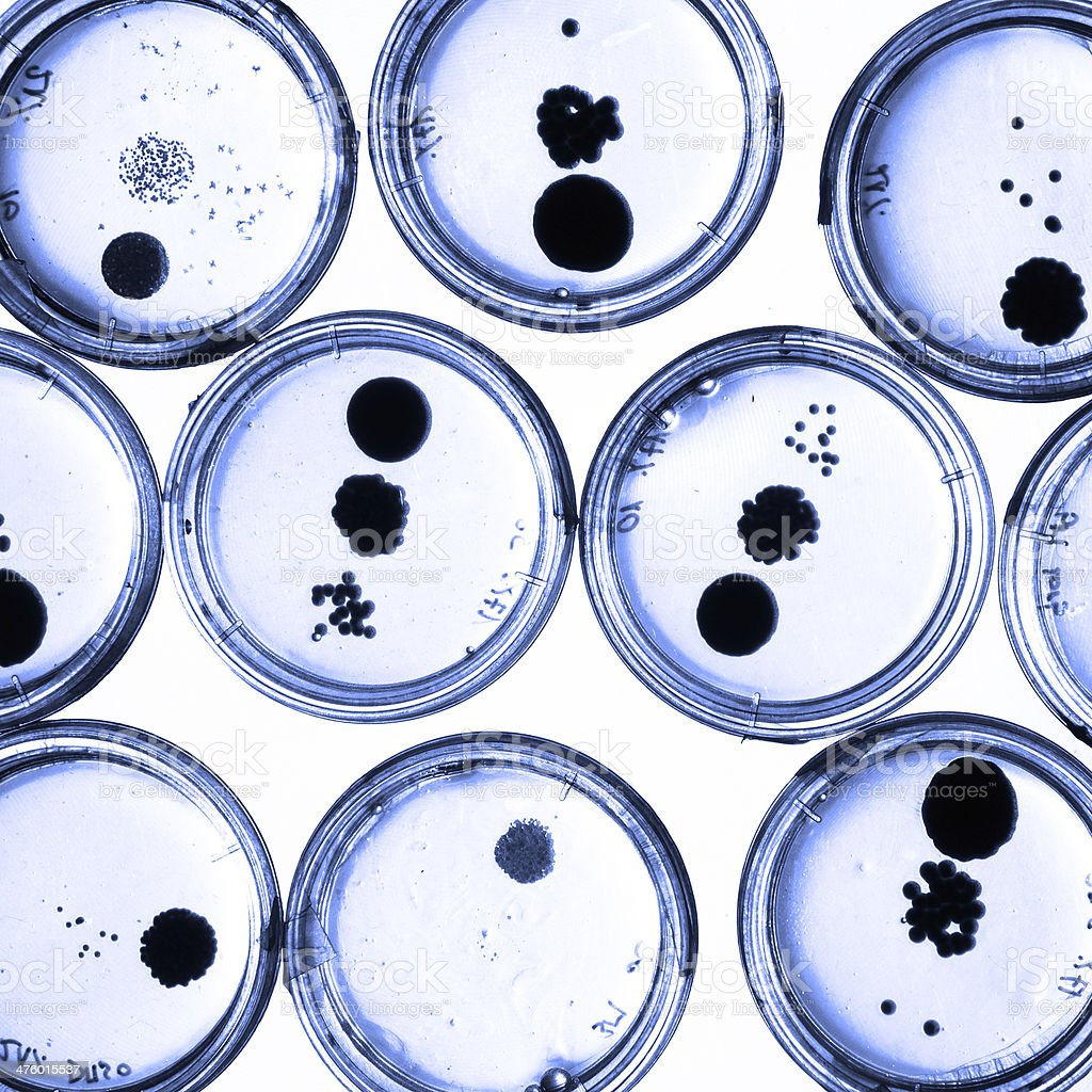 Growing Bacteria in Petri Dishes. royalty-free stock photo
