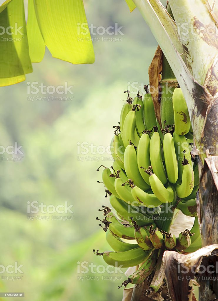Growing Bananas royalty-free stock photo