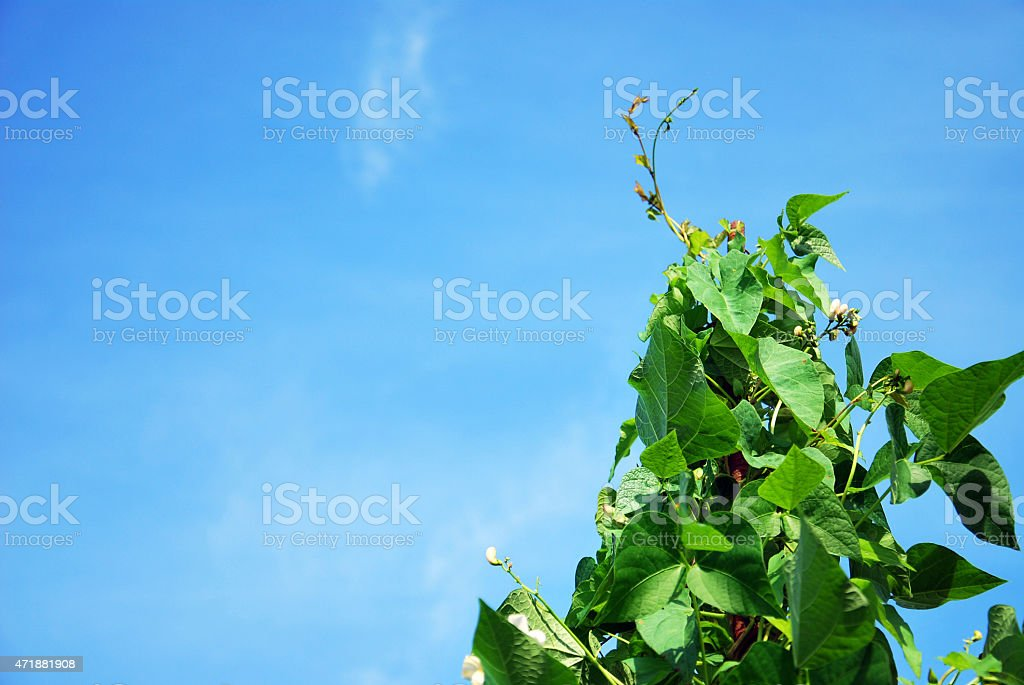 growing beans stock photo