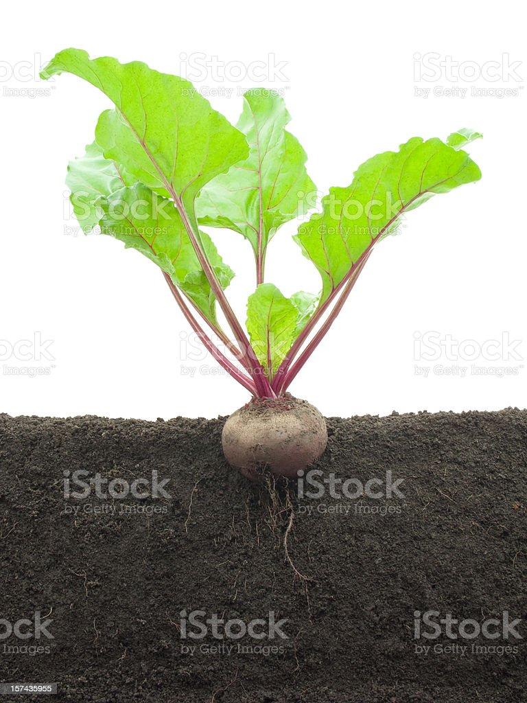 Growing beet royalty-free stock photo