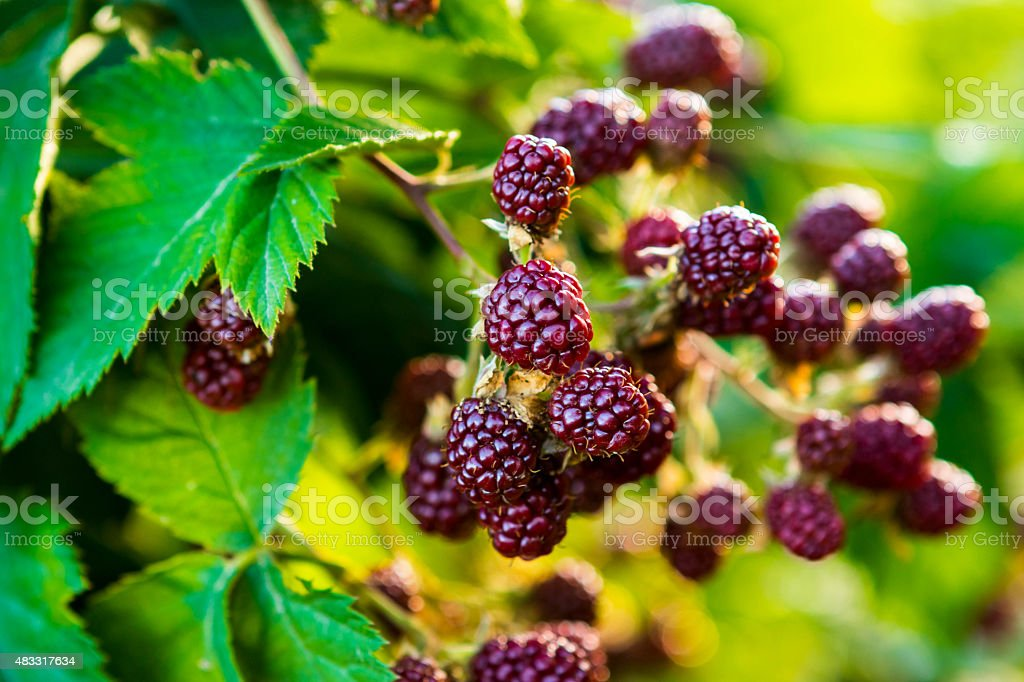 Growing Blackberry stock photo