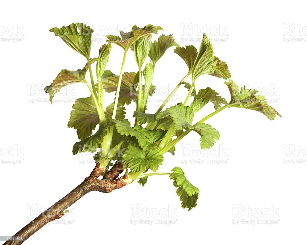 Growing blackcurrant brunch royalty-free stock photo