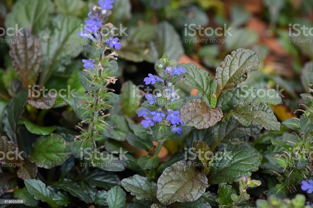 Growing Bugleweed or Ground Pine with purple flowers and foliage stock photo