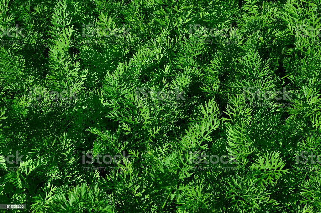 growing carrots royalty-free stock photo