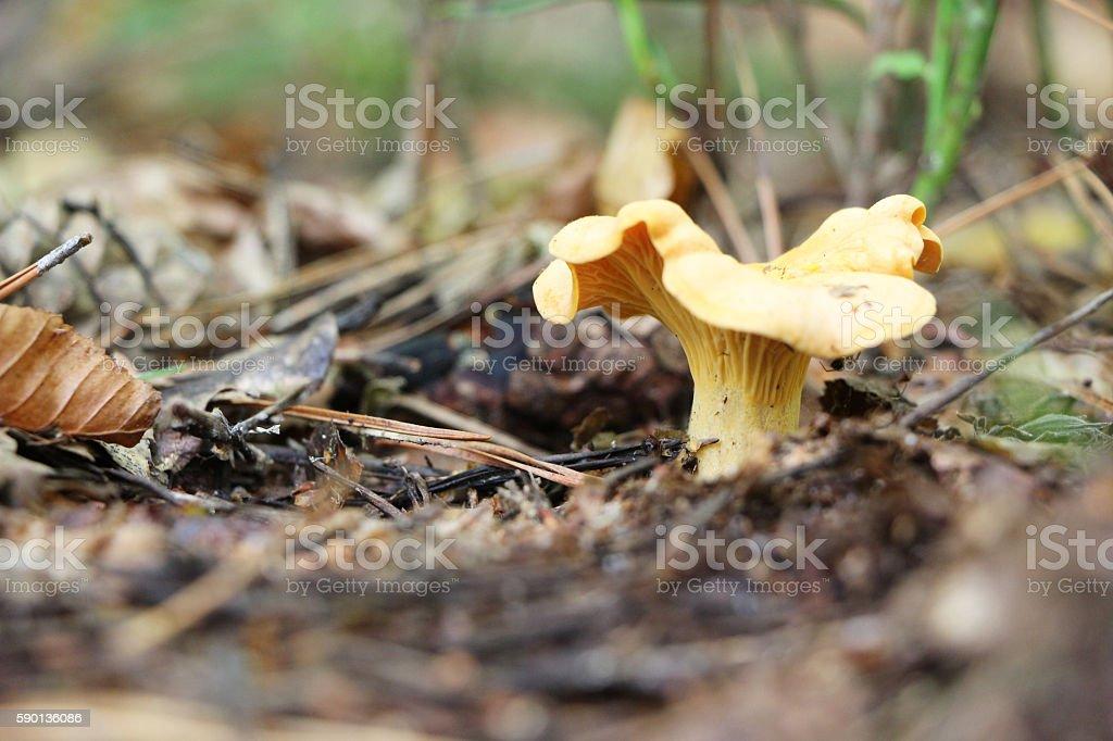 growing chanterelle macro stock photo