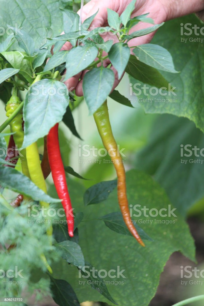 Growing Chili Pepper in a Greenhouse. stock photo