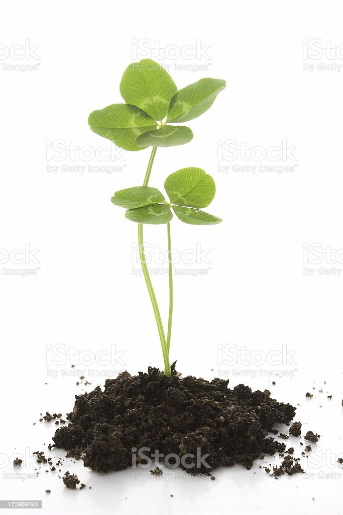 Growing clovers. stock photo