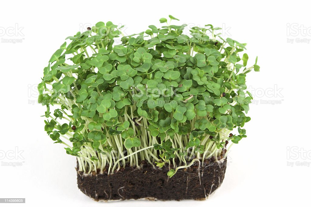 Growing Cress In Container  royalty-free stock photo