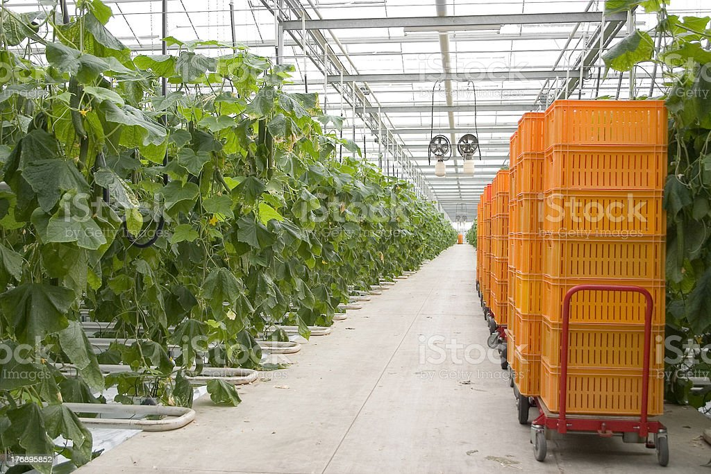 Growing cucumber in a greenhouse (The Netherlands) royalty-free stock photo