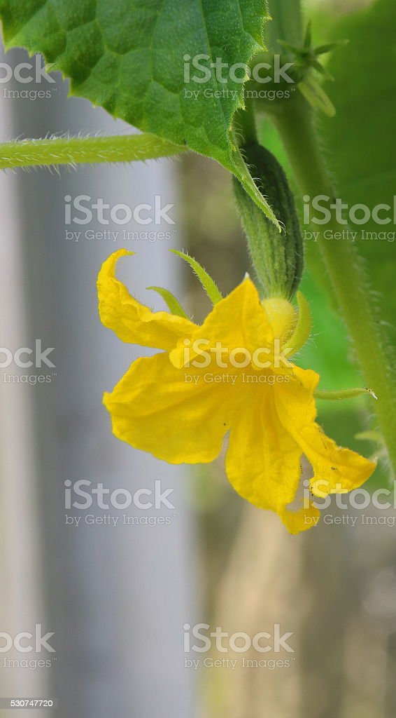 growing cucumber in a greenhouse stock photo