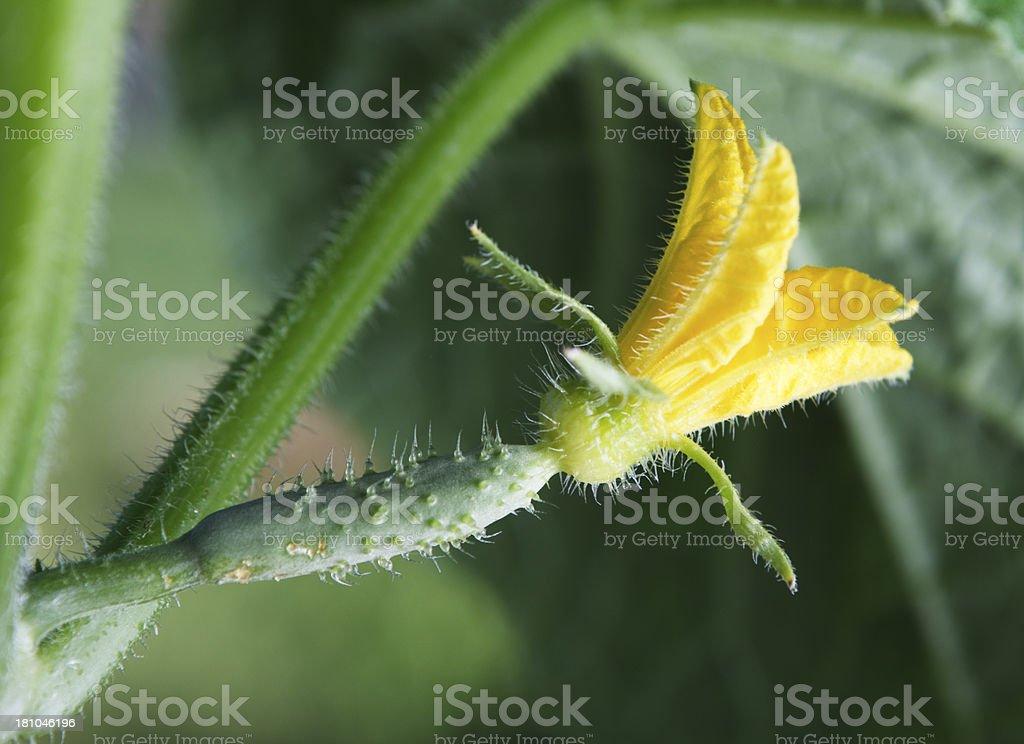 Growing cucumber royalty-free stock photo