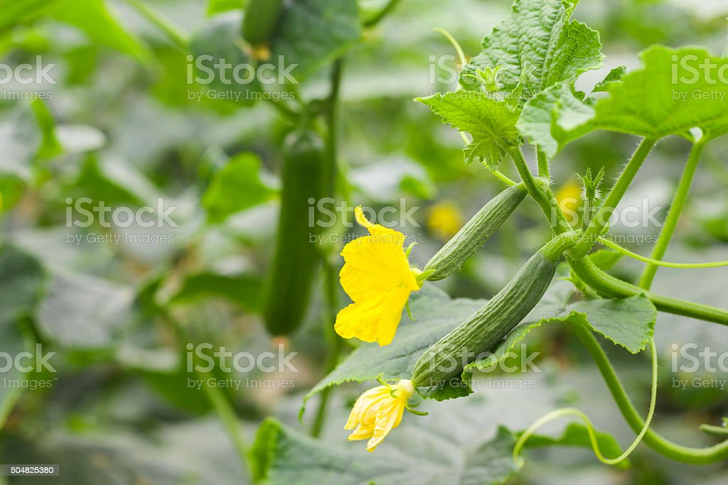 growing cucumber stock photo