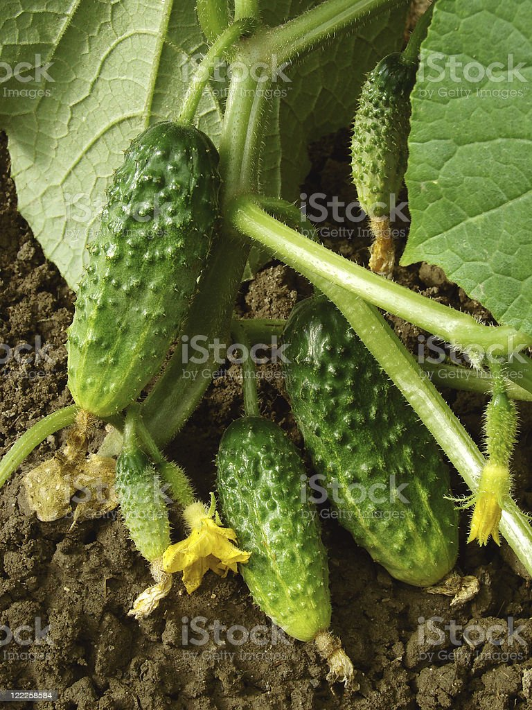 growing cucumbers royalty-free stock photo