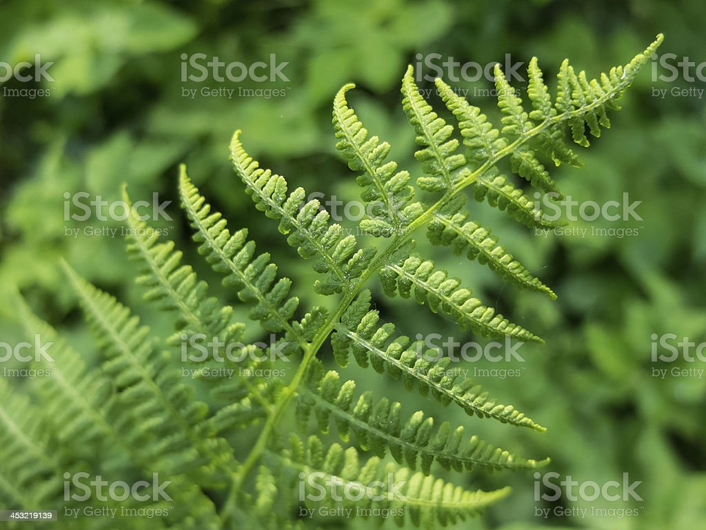 Growing Fern royalty-free stock photo