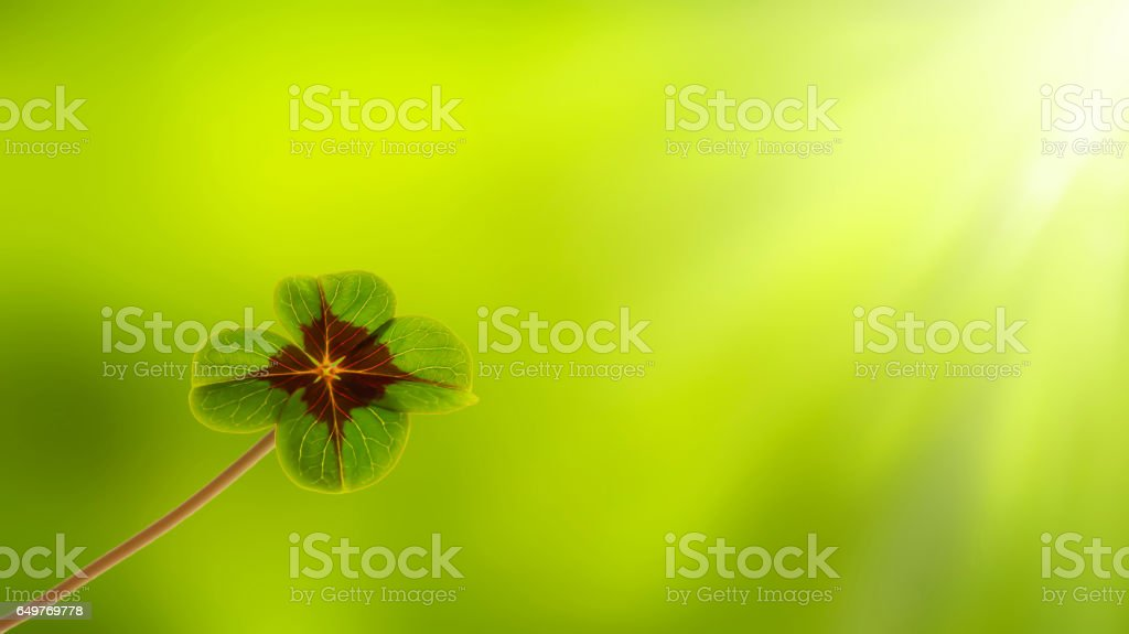 growing four leaf clover stock photo