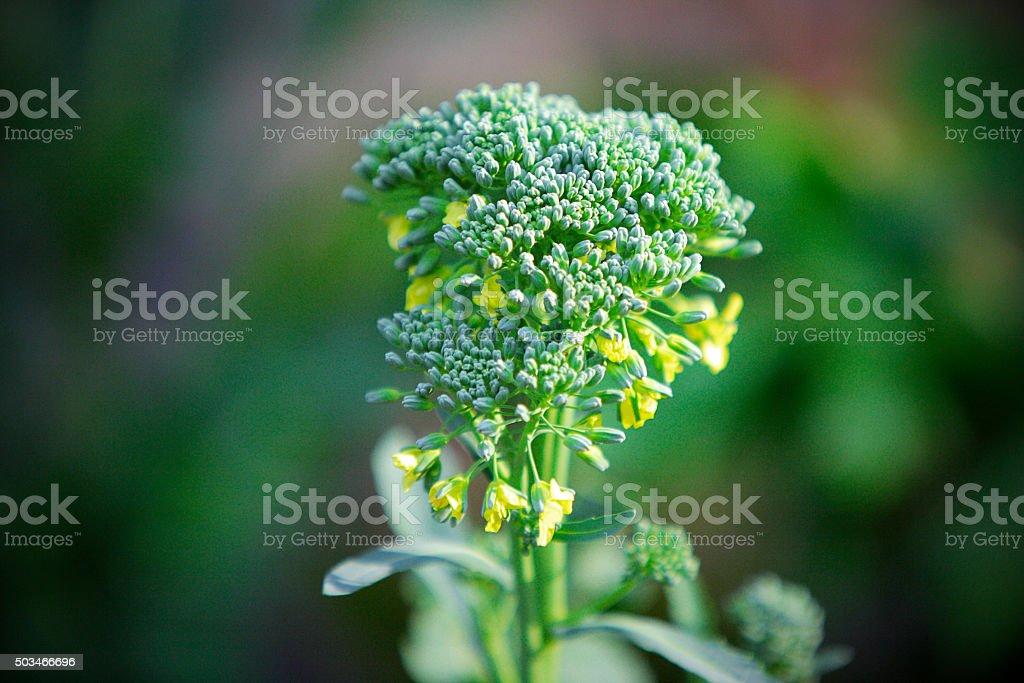 Growing Fresh Broccoli in Cool Weather stock photo