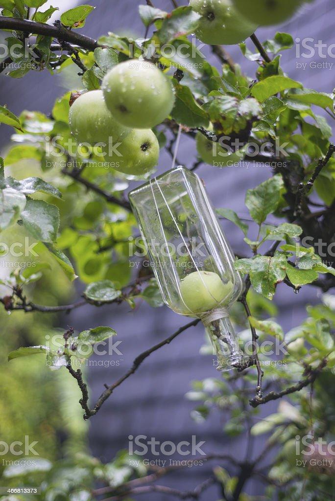 Growing fruit into bottle stock photo