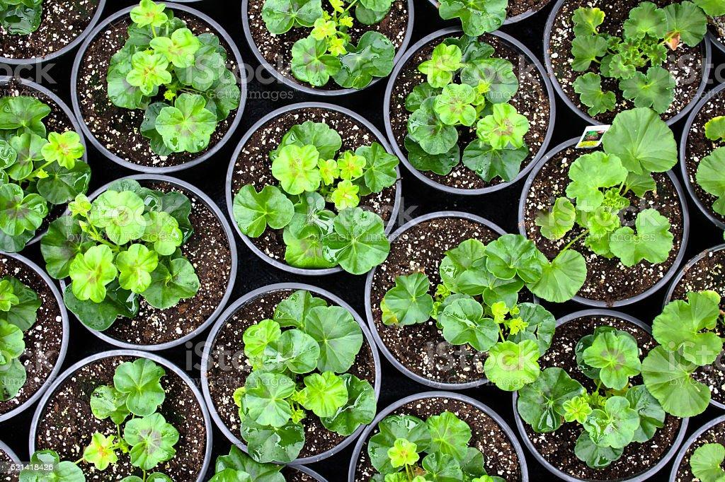 growing geranium stock photo