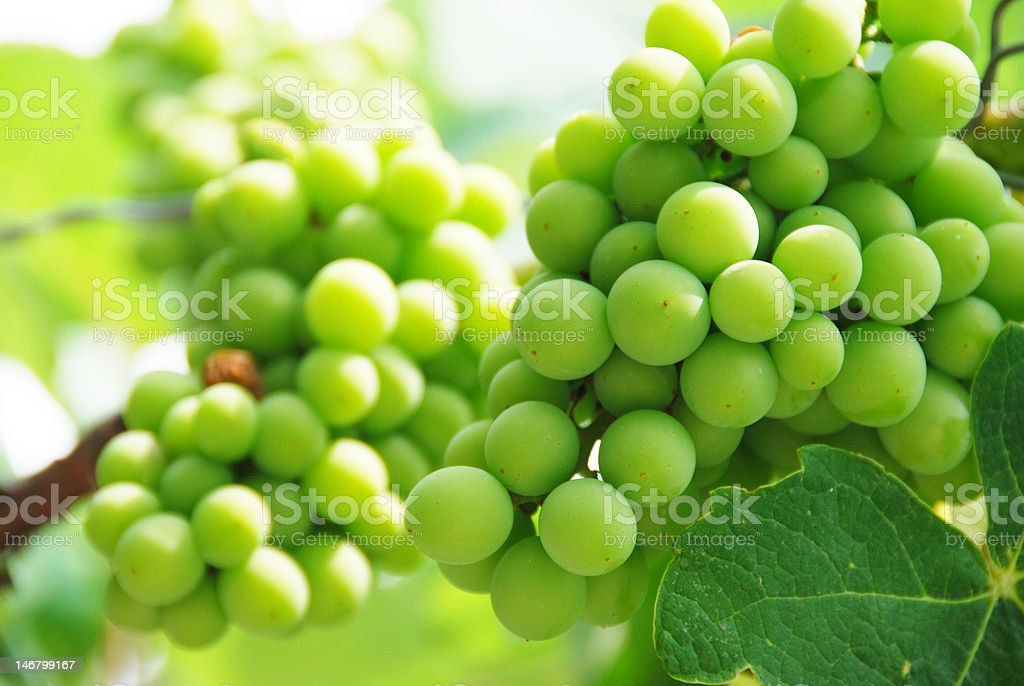 Growing Grapes On Vineyard royalty-free stock photo