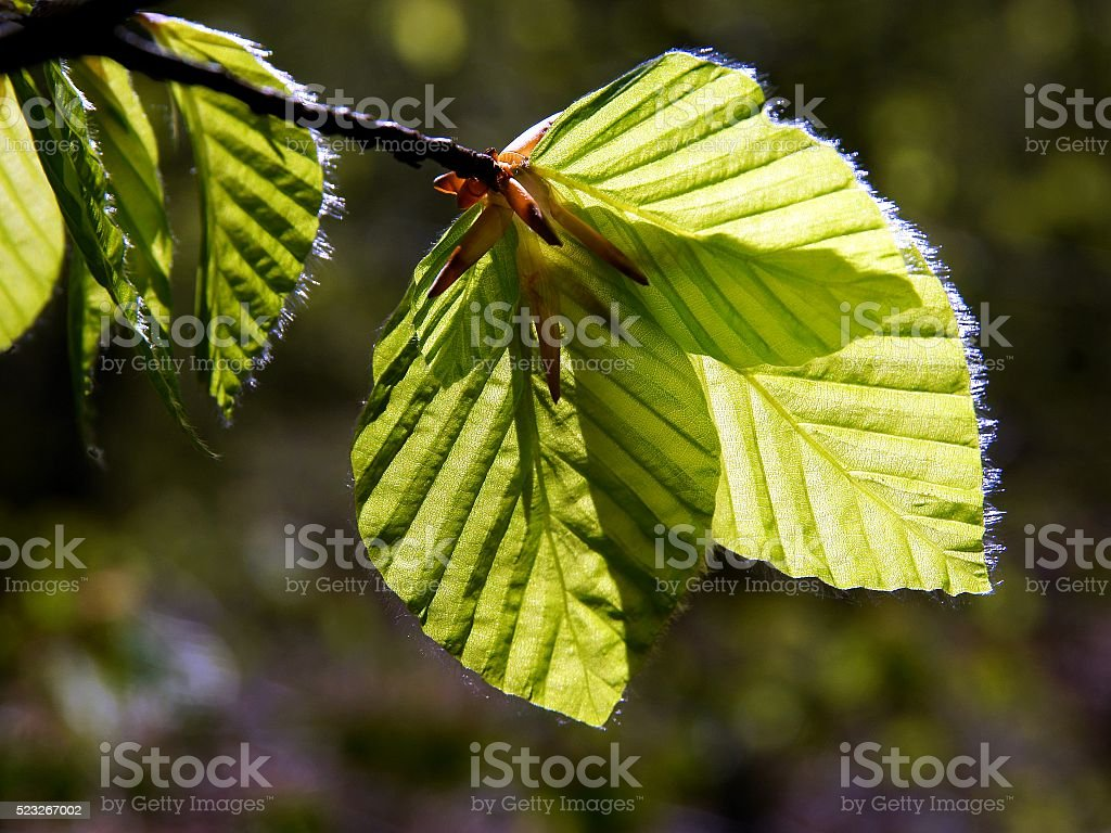growing green leaves of elms tree at spring stock photo