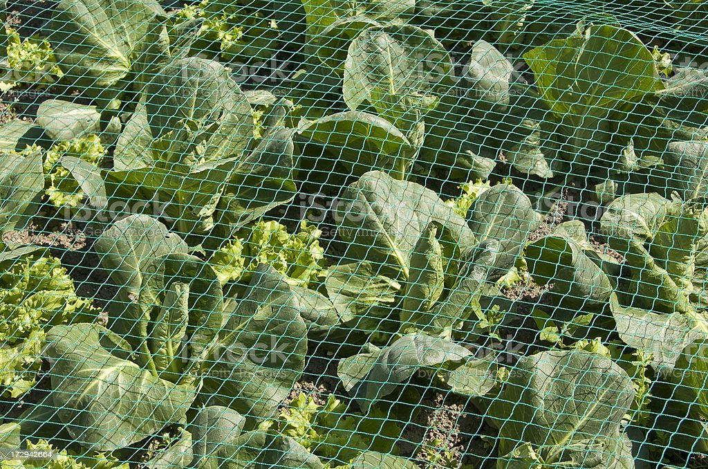 Growing Greens royalty-free stock photo