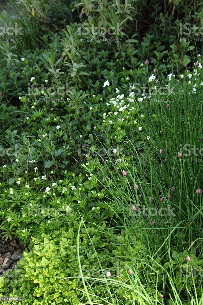 Growing herbs stock photo
